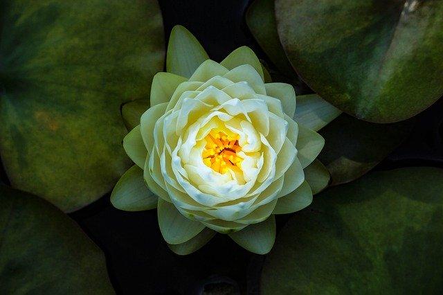 Kwiat Lotosu znaczenie