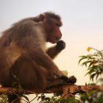 Efekt setnej małpy